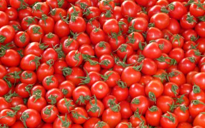 Italian Tomato Harvest 2019 – The effects of climate change