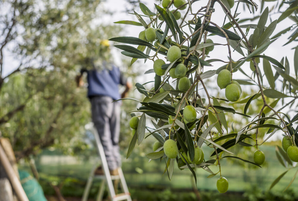 Italian Olive Oil Harvest 2020 – The Stats