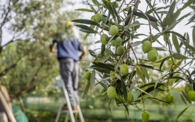 Italian Olive Oil Harvest 2020 – The Stats